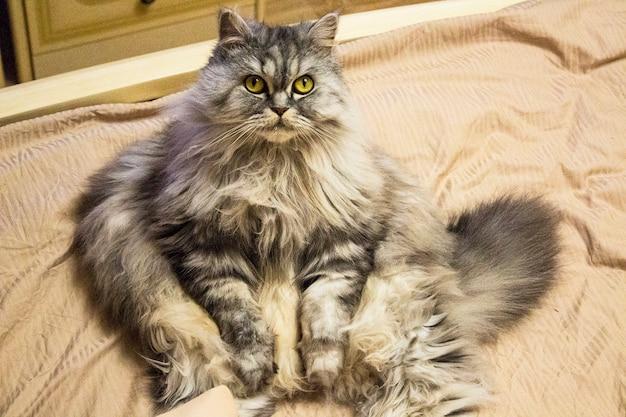 Отдых и досуг сытого, ленивого и довольного толстого кота. на кровати сидит серая пушистая кошка, показывая толстый живот