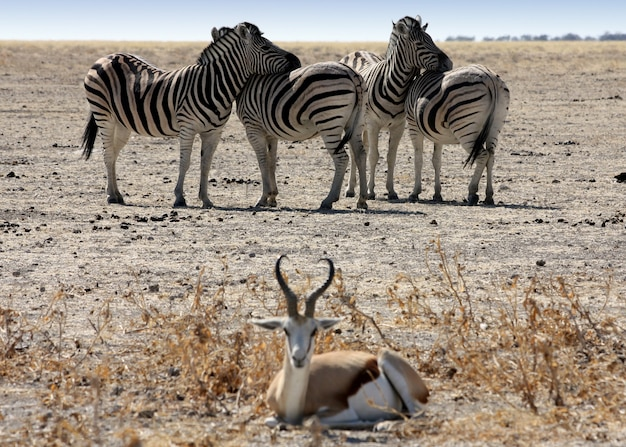 The rest of zebras, namibia, etosha park