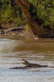 На мелководье отдыхает крокодил. танзания, африка