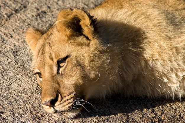 休息中のライオン