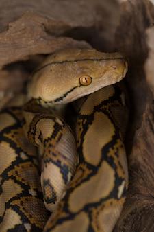 그물 모양의 파이썬, 나뭇 가지에 보아 압축 뱀