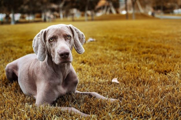 Retrato de un perro de la raza weco braco, weimaraner. al aire libre, en el paisaje otoñal.
