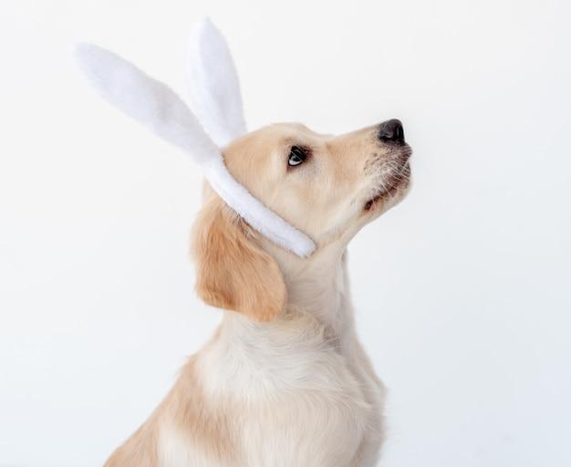 Retriever dog in bunny ears