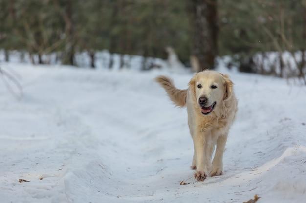 冬の森のレトリーバー