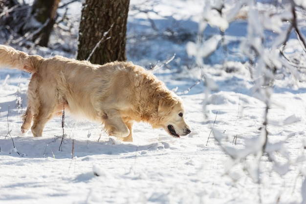 Ретривер в зимнем лесу