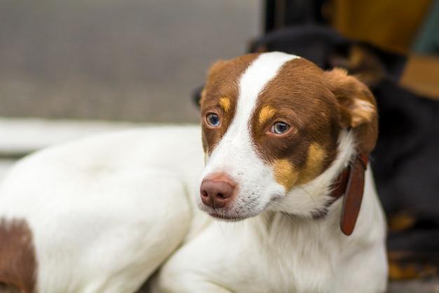 Портрет сидя белой и желтой собаки retriever labrador смотря далеко от камеры outdoors.