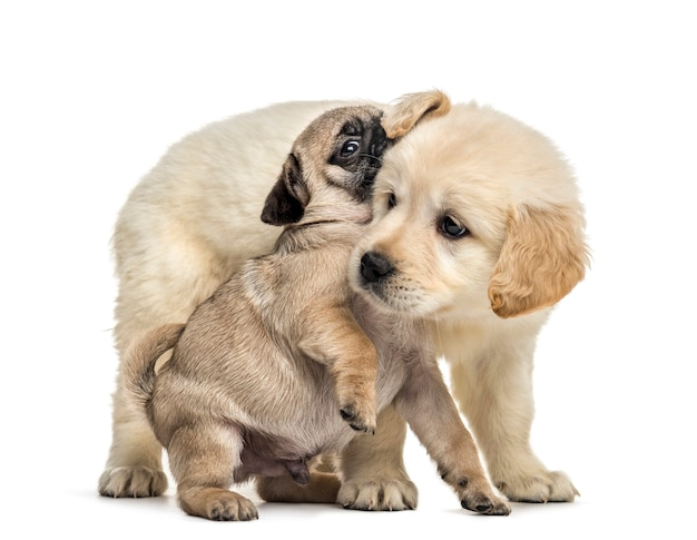 Retriever and pug puppies playing together, isolated on white