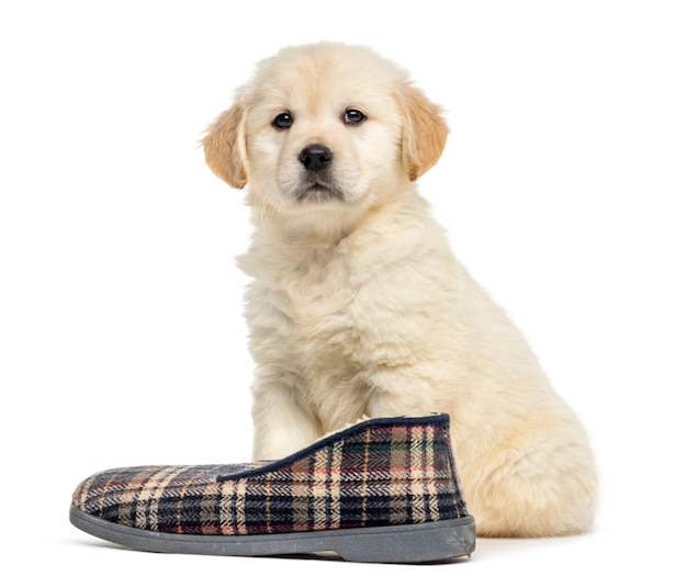 Retriever puppy sitting with slipper, isolated on white