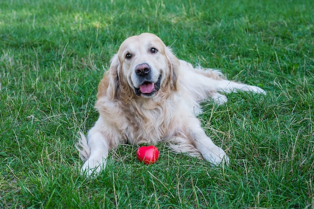 Retriever with red heart in the park on the grass