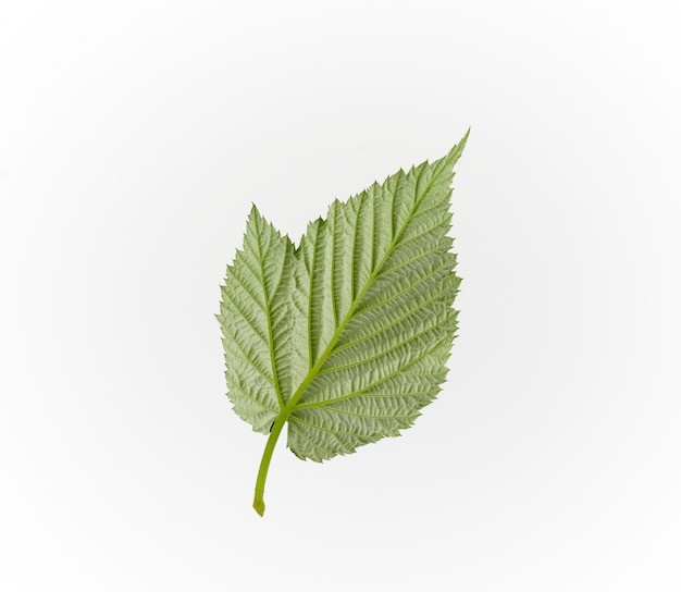Reverse structural side of a green raspberry leaf on white