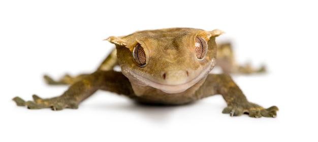 新しいカレドニアクレステッドヤモリ-rhacodactylus ciliatus
