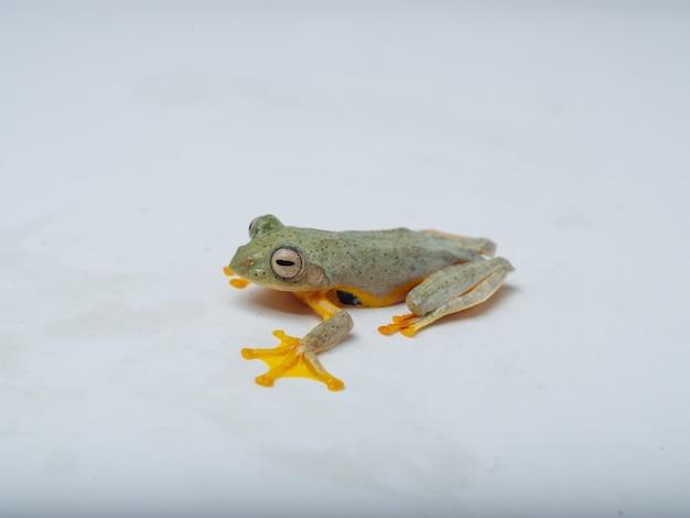 Rhacophorus bipunctatus (double spotted red webbed tree frog, double spotted treefrog, himalaya flying frog, orange webbed tree frog, twin spotted bushfrog, twin spotted tree frog)