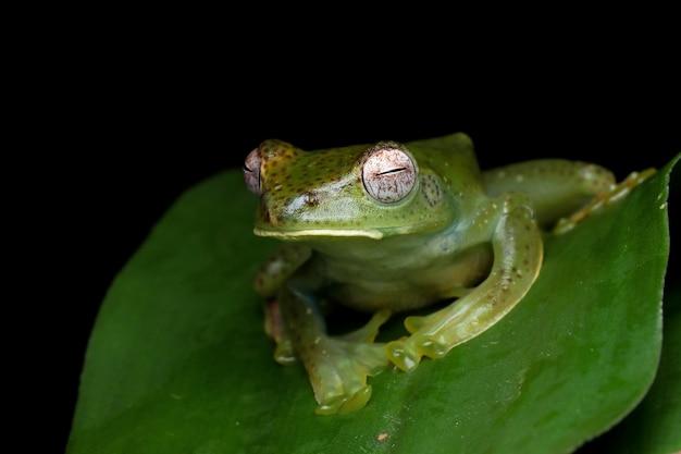 Rhacophorusprominanusまたは緑の葉の上のマレーのアマガエルのクローズアップ