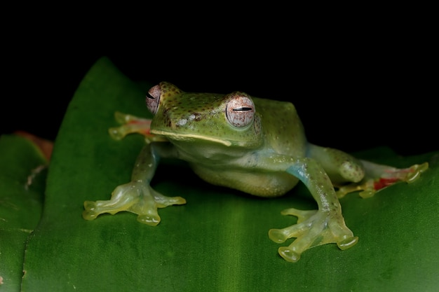 Rhacophorus prominanus 또는 녹색 잎에 말라야 나무 개구리 근접 촬영
