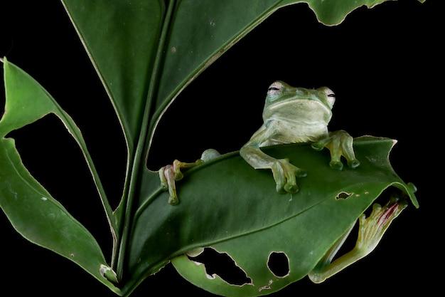Rhacophorus prominanus 또는 녹색 잎에 말라야 청개구리