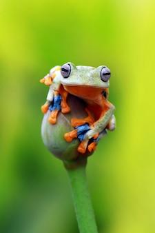 Летающая древесная лягушка, лягушка-уоллес, яванская древесная лягушка, rhacophorus reinwardtii