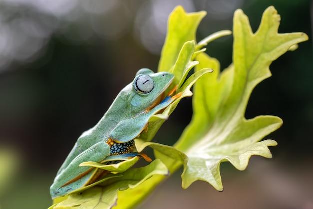 Rhacophorus reinwardtii. он по-разному известен под распространенными названиями лягушки с черной перепонкой