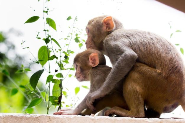 アカゲザルは茶色の霊長類または類人猿であり、マカカまたはムラタとしても知られています