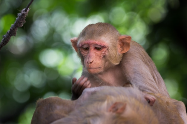 Rhesus macaque monkey are familiar brown primates or apes with red faces and rears