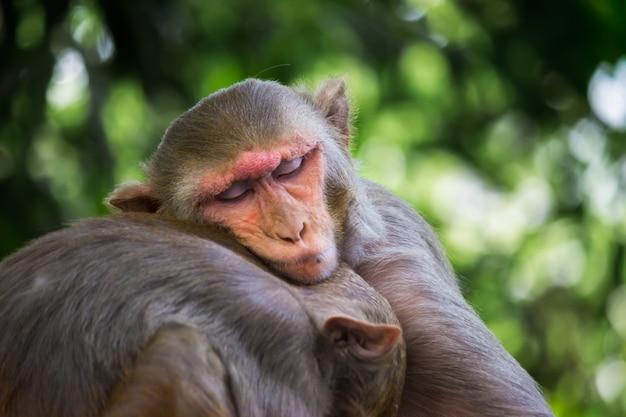붉은털원숭이 원숭이는 친숙한 갈색 영장류나 유인원, 또는 마카카 또는 물라타가 형제와 자고 있습니다.