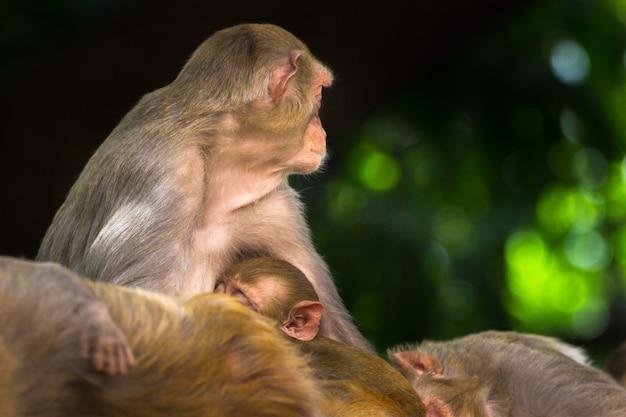 Обезьяна-резус - знакомые коричневые приматы или обезьяны с красными лицами и спинами.
