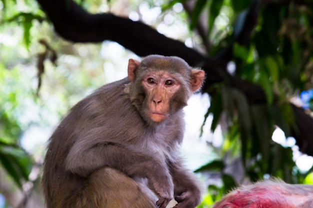 붉은털 원숭이 원숭이 또는 영장류 또는 유인원 또는 공격적으로 보이는 macaca 또는 mullata