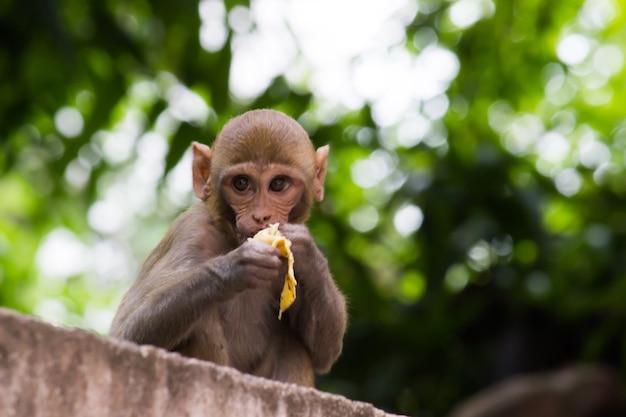 붉은털원숭이 원숭이는 얼굴이 붉고 뒤쪽이 표정이 풍부한 친숙한 갈색 영장류입니다.