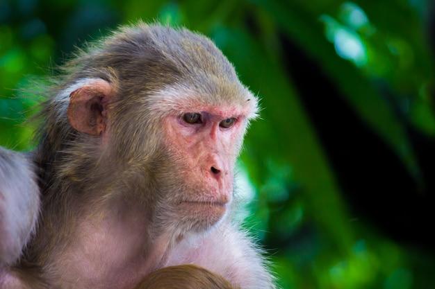 붉은털 원숭이 원숭이는 친숙한 갈색 영장류 또는 유인원 또는 붉은 얼굴을 가진 macaca 또는 mullata입니다