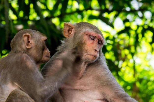 붉은털 원숭이 원숭이는 친숙한 갈색 영장류 또는 유인원 또는 macaca 또는 mullata입니다