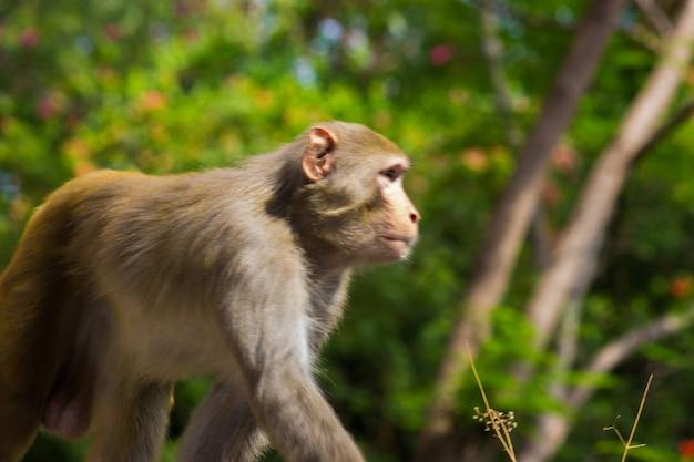 붉은털원숭이 원숭이는 친숙한 갈색 영장류 또는 유인원으로 얼굴과 등이 붉습니다.