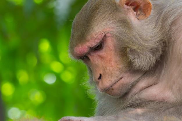 アカゲザルはおなじみの茶色の霊長類または赤い顔と後部を持つ類人猿です