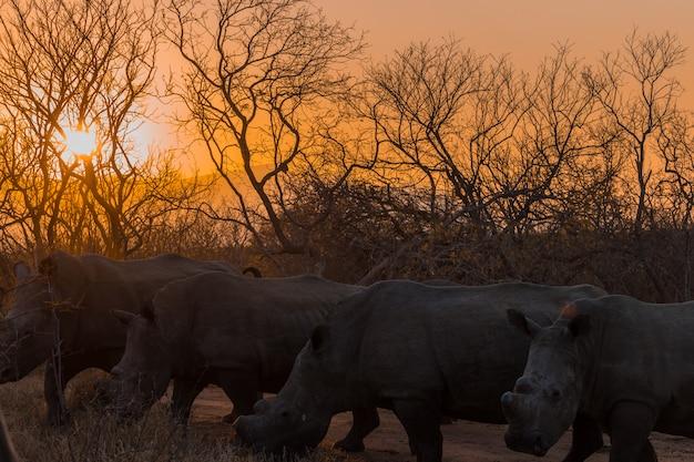 Носорог на закате на сафари в южной африке