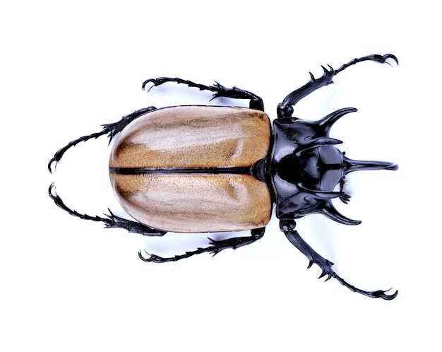 カブトムシ、カブトムシ、ヘラクレスオオカブトムシ、ユニコーンカブトムシ、ホーンカブトムシ分離
