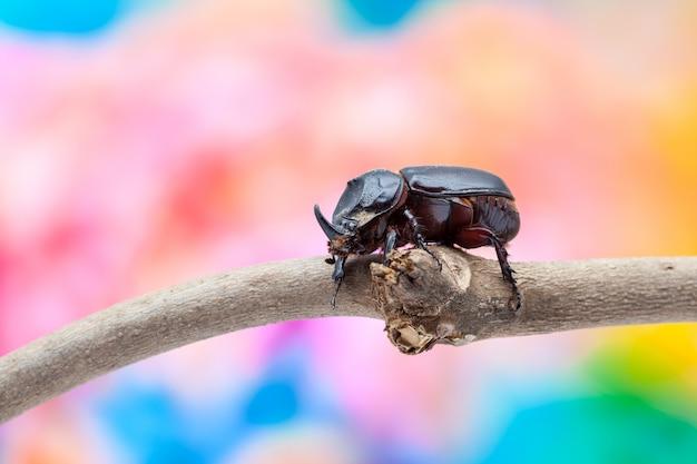 코뿔소 딱정벌레
