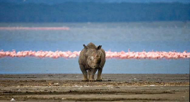 サイはフラミンゴと一緒に湖の背景に立っています。