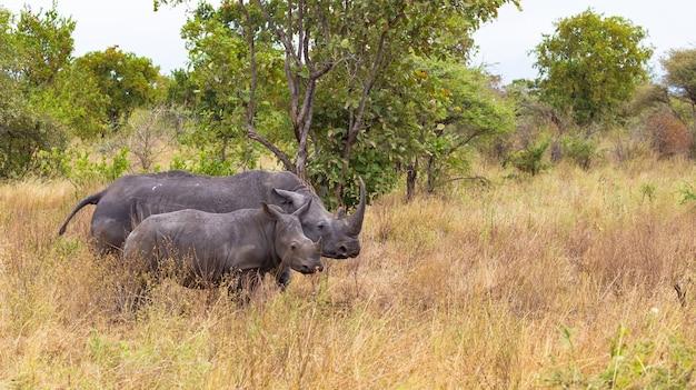 Мама-носорог с детенышем меру кени