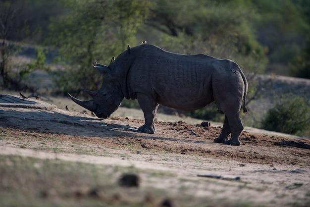 Носорог одиноко стоящий на земле с крошечными птичками на спине