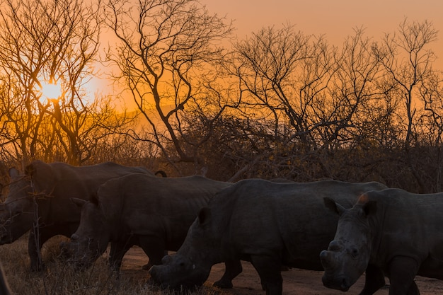 Rhinoceros at sunset on a safari in south africa