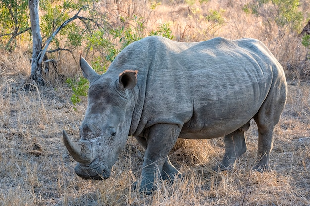 Носорог гуляет на лугу