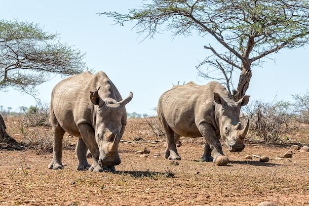 Носорог гуляет по полю с ясным голубым небом на заднем плане