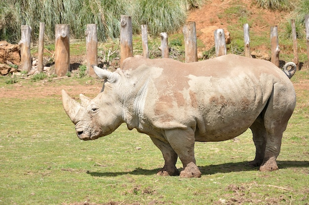 풀밭을 걷는 코뿔소