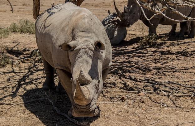 Rinoceronte che cammina attraverso un campo con alberi spogli sotto la luce del sole durante il giorno