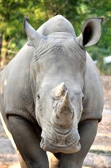 白いrhinoceros