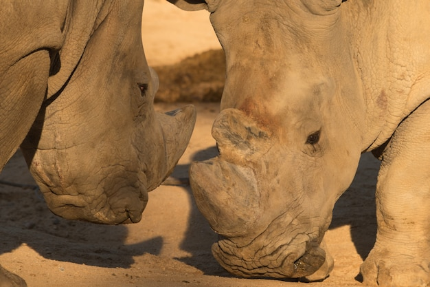 Rhinos / rhinoceros couple fighting on the ground