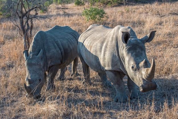 Носороги гуляют на лугу