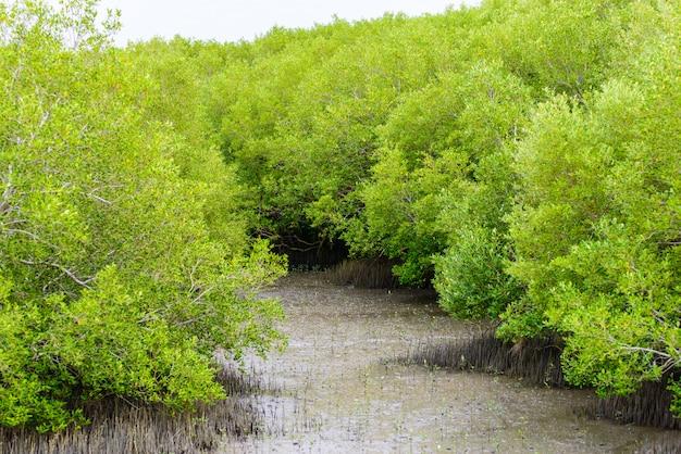 マングローブの木rhizophora mucronata