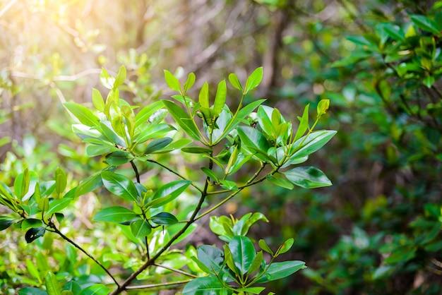 Rhizophora mucronataの葉