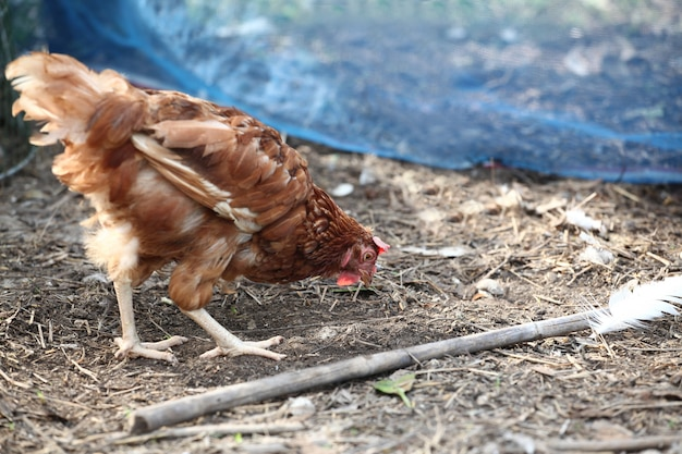 Rhode island red eat food in garden