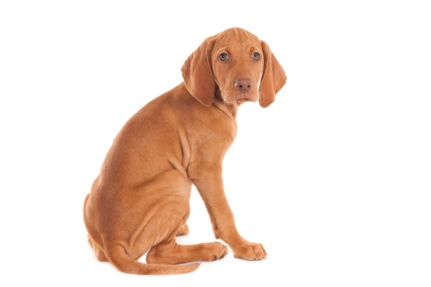 カメラ目線のローデシアン・リッジバックの子犬は、白で隔離されます。