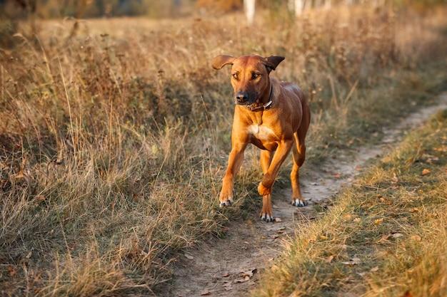 Родезийский риджбек пробегает осеннее поле на закате